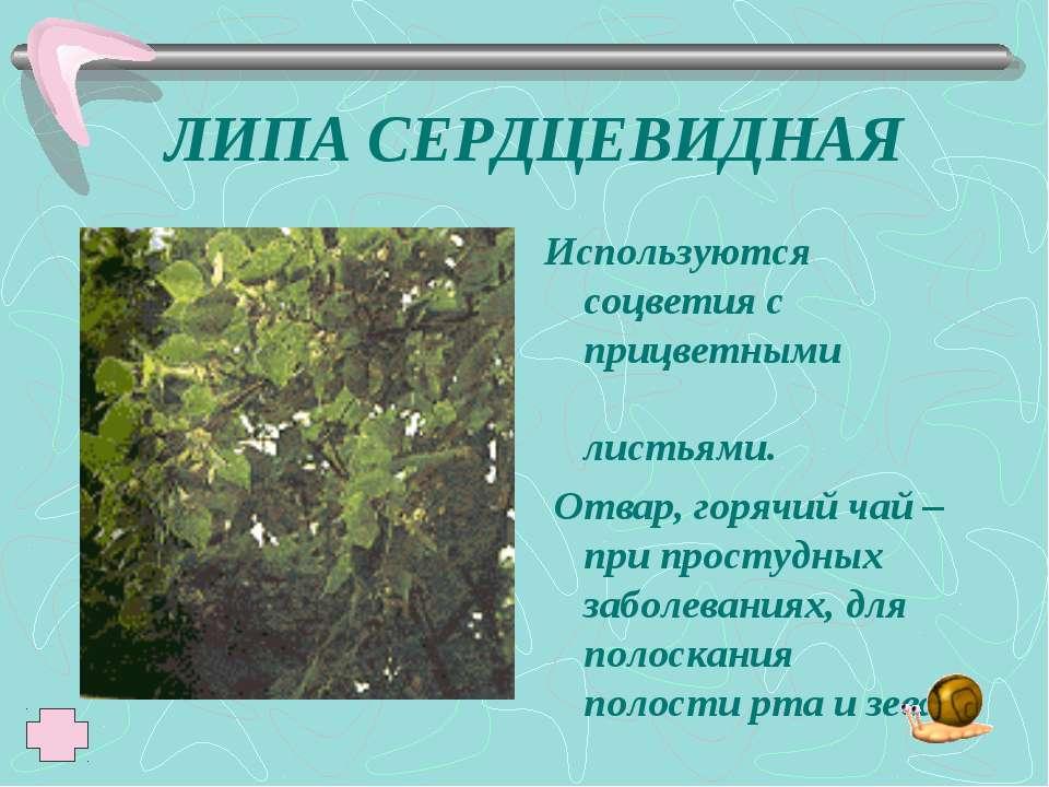 ЛИПА СЕРДЦЕВИДНАЯ Используются соцветия с прицветными листьями. Отвар, горячи...