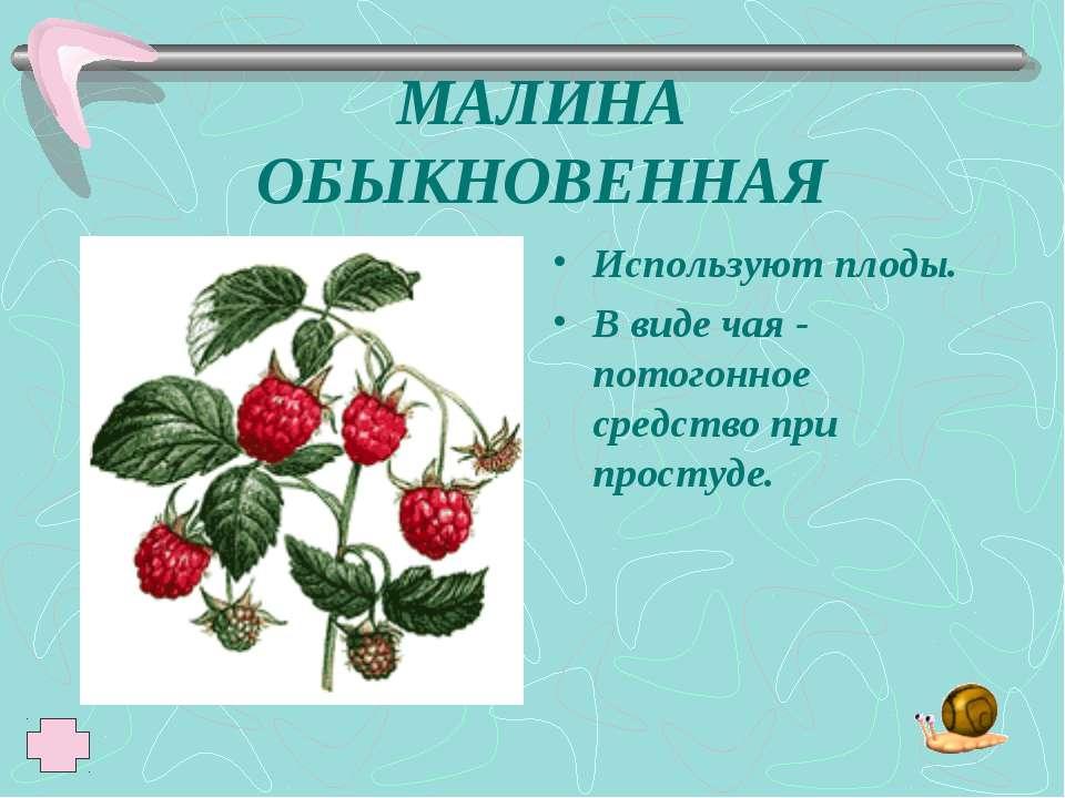 МАЛИНА ОБЫКНОВЕННАЯ Используют плоды. В виде чая - потогонное средство при пр...