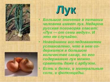 Лук Большое значение в питании человека имеет лук. Недаром русская поговорка ...