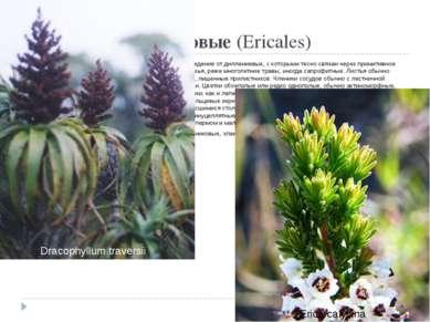 Порядок 9. Вересковые(Ericales) Близок к порядку чайных и имеет общее с ним...