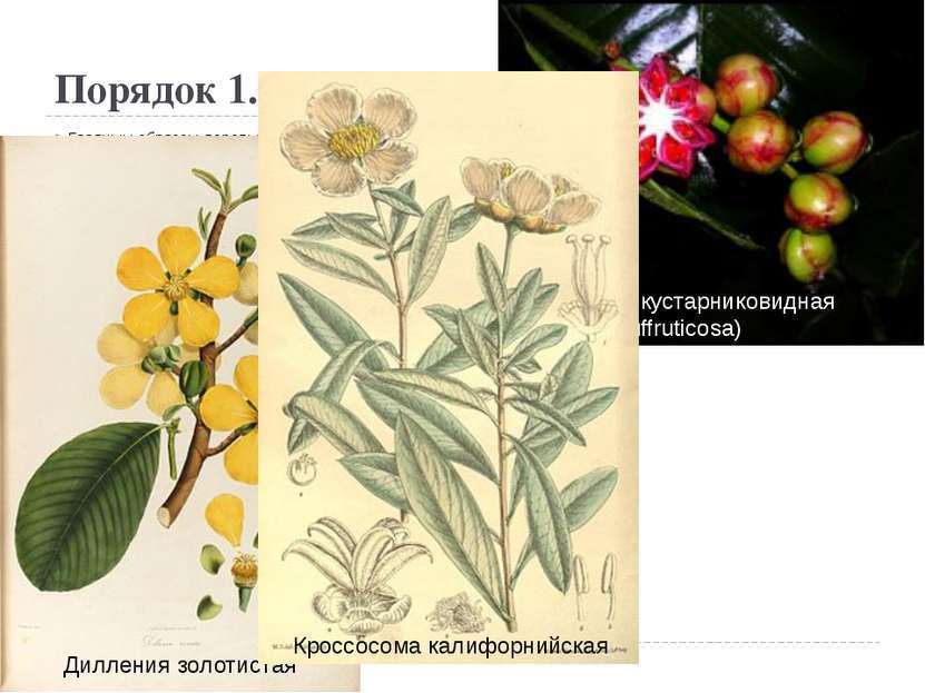 Порядок 1. Диллениевые(Dilleniales) Главным образом деревья и кустарники, ре...