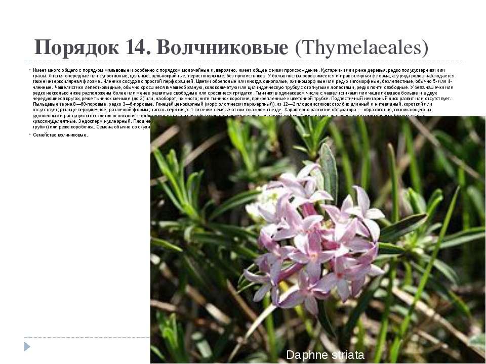 Порядок 14. Волчниковые(Thymelaeales) Имеет много общего с порядком мальвов...