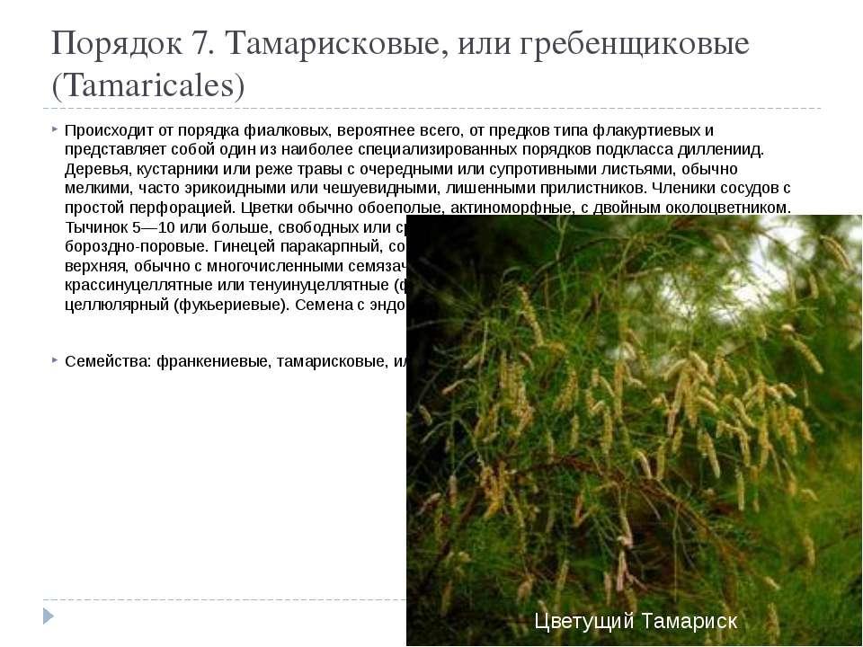 Порядок 7. Тамарисковые, или гребенщиковые (Tamaricales) Происходит от порядк...