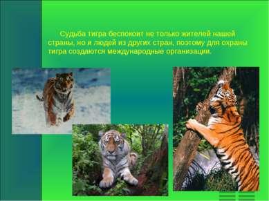 Судьба тигра беспокоит не только жителей нашей страны, но и людей из других с...
