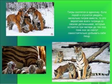 Тигры охотятся в одиночку. Если порой и случится увидеть несколько тигров вме...