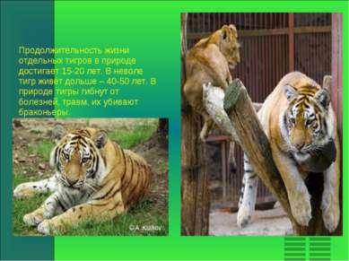 Продолжительность жизни отдельных тигров в природе достигает 15-20 лет. В нев...