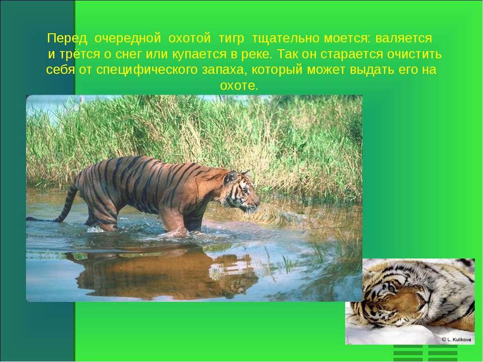 Перед очередной охотой тигр тщательно моется: валяется и трётся о снег или ку...