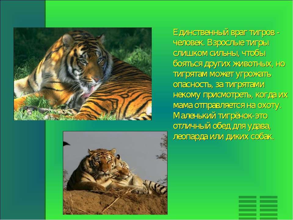 Единственный враг тигров - человек. Взрослые тигры слишком сильны, чтобы боят...