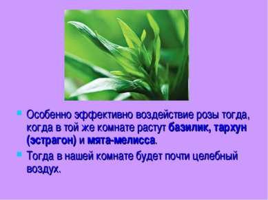 Особенно эффективно воздействие розы тогда, когда в той же комнате растут баз...