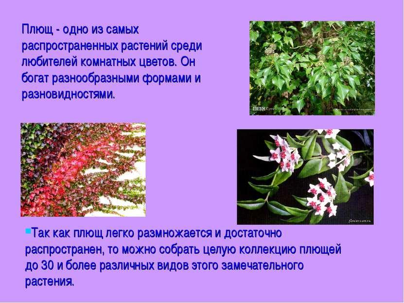 Плющ - одно из самых распространенных растений среди любителей комнатных цвет...