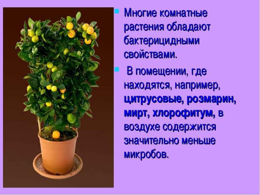Многие комнатные растения обладают бактерицидными свойствами. В помещении, гд...