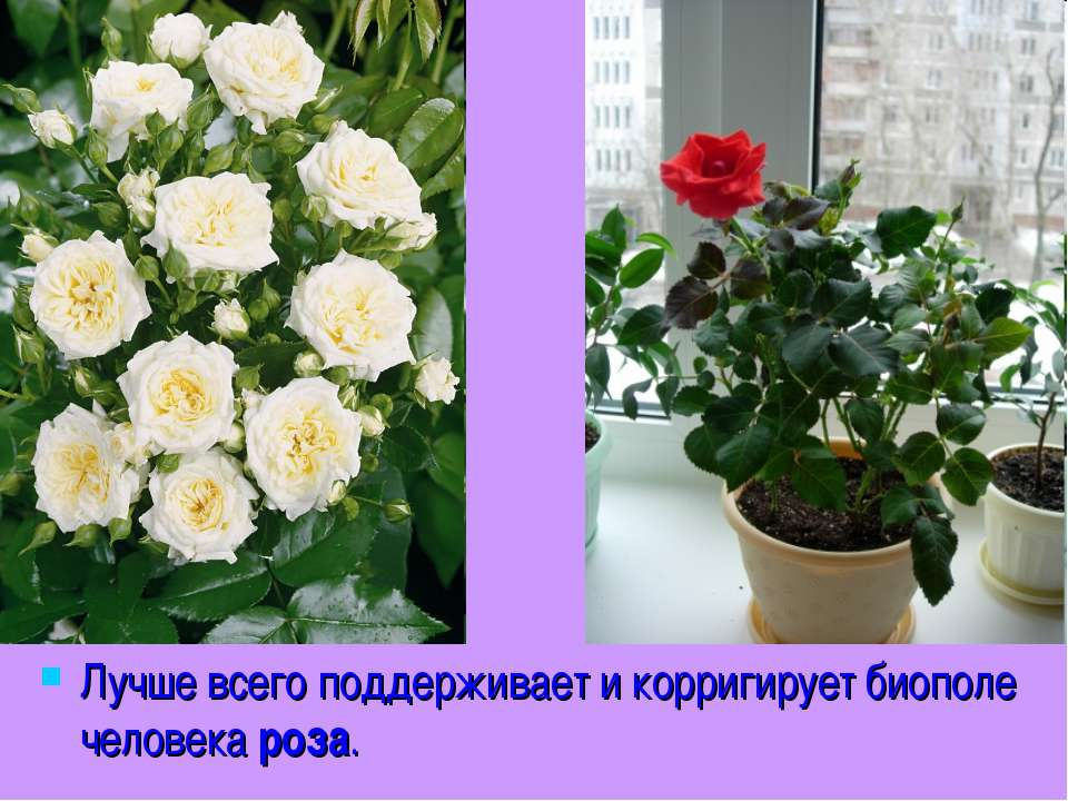 Лучше всего поддерживает и корригирует биополе человека роза.