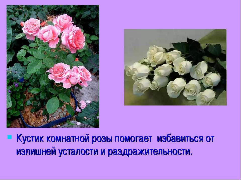 Кустик комнатной розы помогает избавиться от излишней усталости и раздражител...