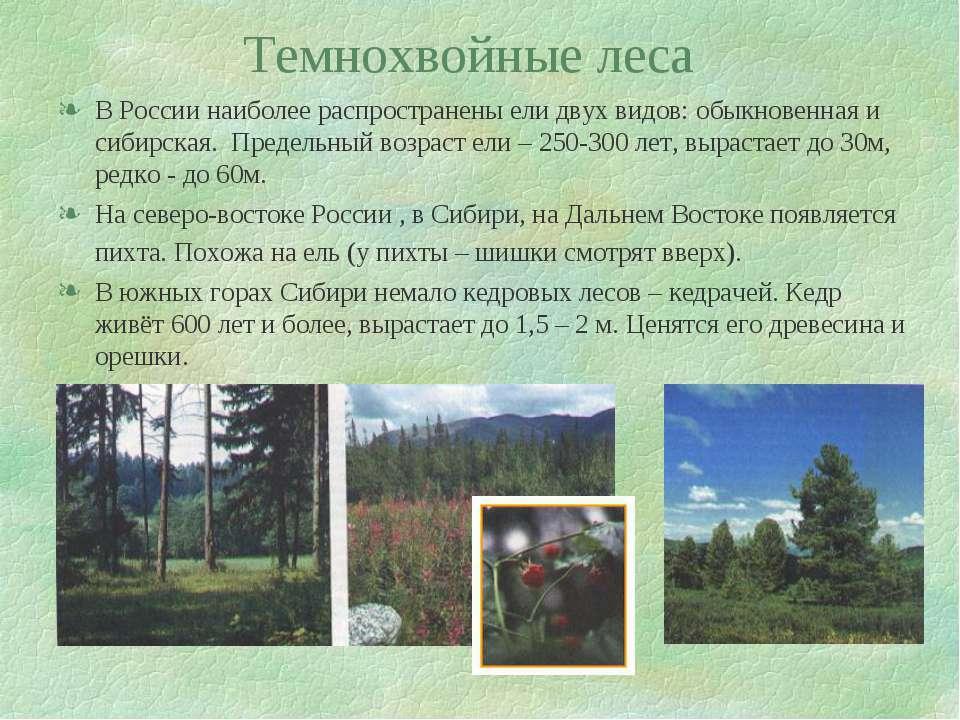 Темнохвойные леса В России наиболее распространены ели двух видов: обыкновенн...