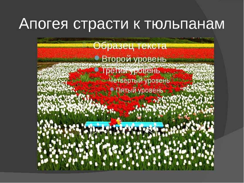 Апогея страсти к тюльпанам