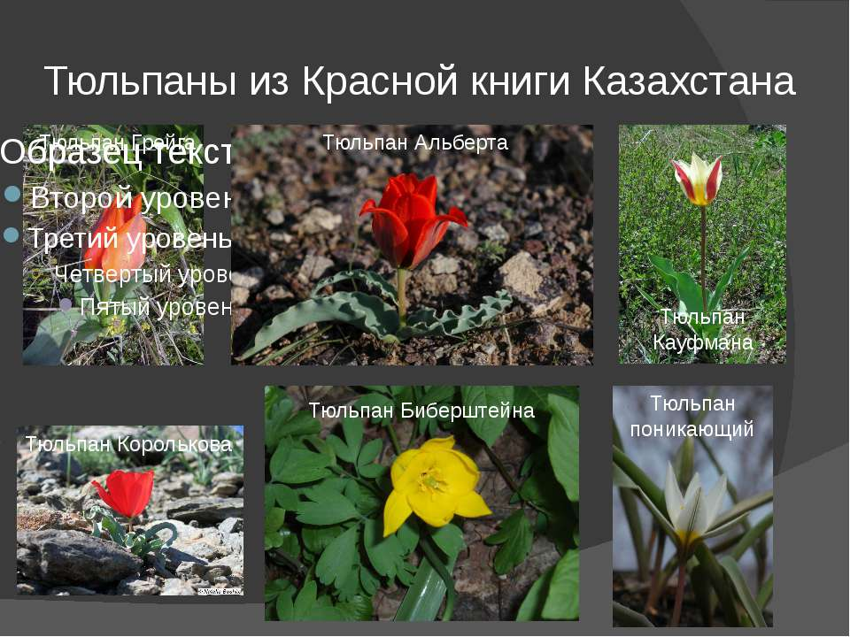 Тюльпаны из Красной книги Казахстана Тюльпан Грейга Тюльпан Альберта Тюльпан ...
