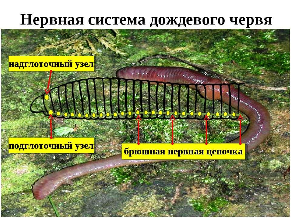 Нервная система дождевого червя *
