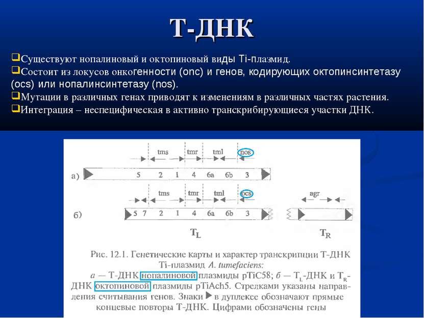 Т-ДНК Существуют нопалиновый и октопиновый виды Ti-плазмид. Состоит из локусо...