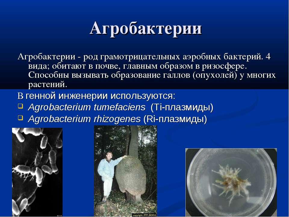 Агробактерии Агробактерии - род грамотрицательных аэробных бактерий. 4 вида; ...