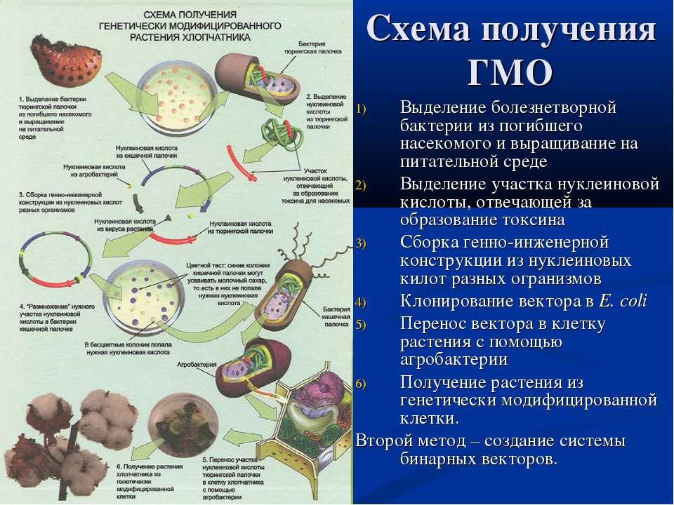 Схема получения ГМО Выделение болезнетворной бактерии из погибшего насекомого...