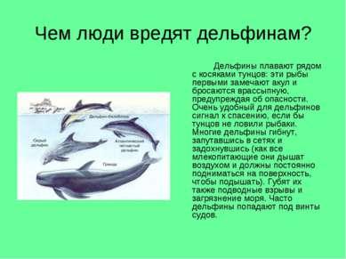 Чем люди вредят дельфинам? Дельфины плавают рядом с косяками тунцов: эти рыбы...