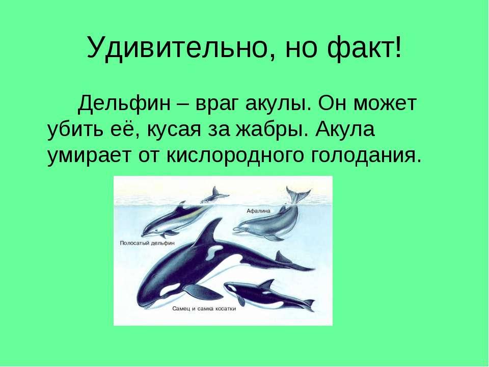 Удивительно, но факт! Дельфин – враг акулы. Он может убить её, кусая за жабры...