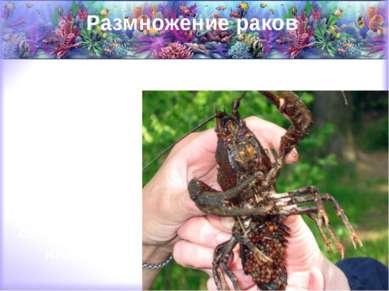 Размножение раков Рачиха откладывает икру себе под брюшко с наступлением осен...