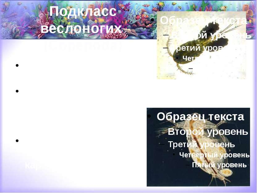 Подкласс веслоногих (Copepoda) морские планктонные (каланиды и др.), пресново...