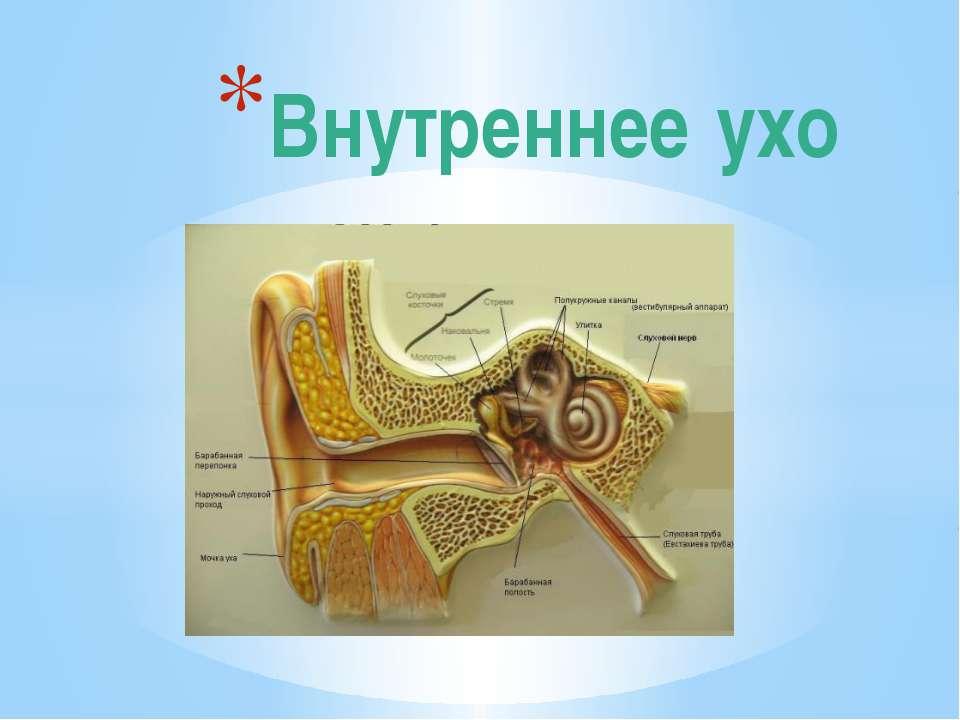 Внутреннее ухо
