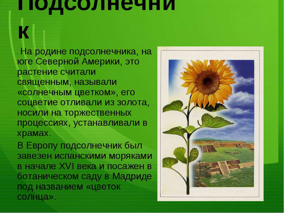 Подсолнечник . На родине подсолнечника, на юге Северной Америки, это растение...