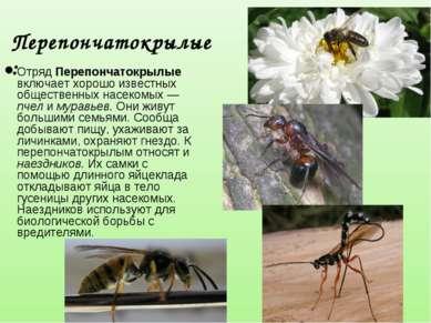 Отряд Перепончатокрылые включает хорошо известных общественных насекомых — пч...