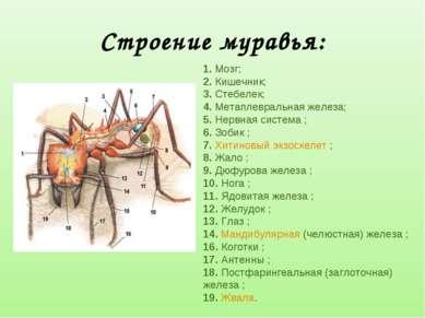 Строение муравья: 1. Мозг; 2. Кишечник; 3. Стебелек; 4. Метаплевральная желез...