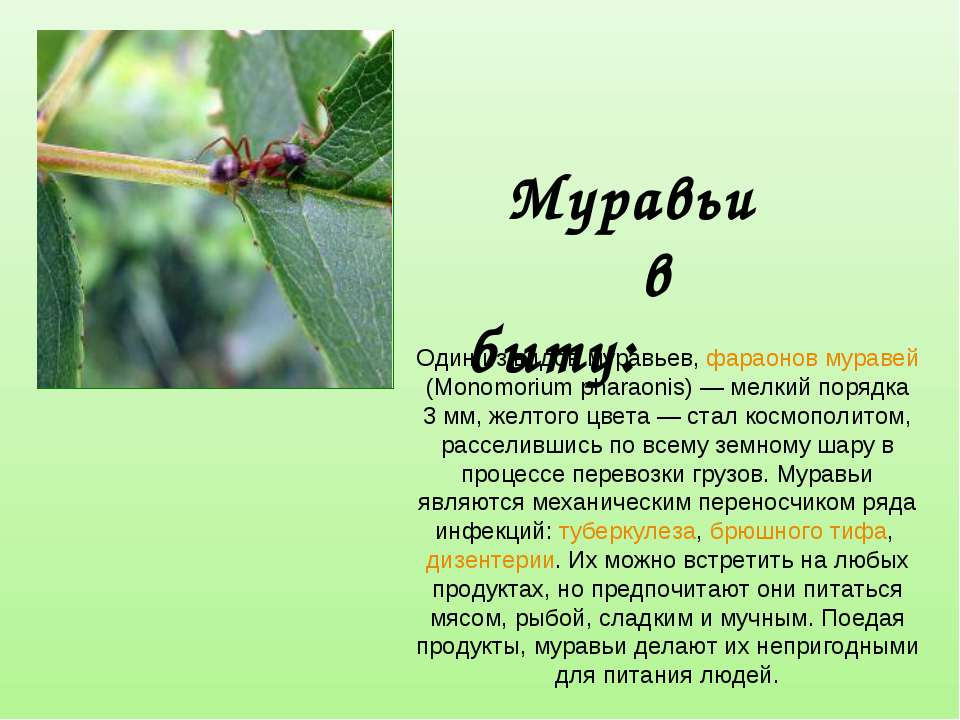 Один из видов муравьев, фараонов муравей (Monomorium pharaonis)— мелкий поря...