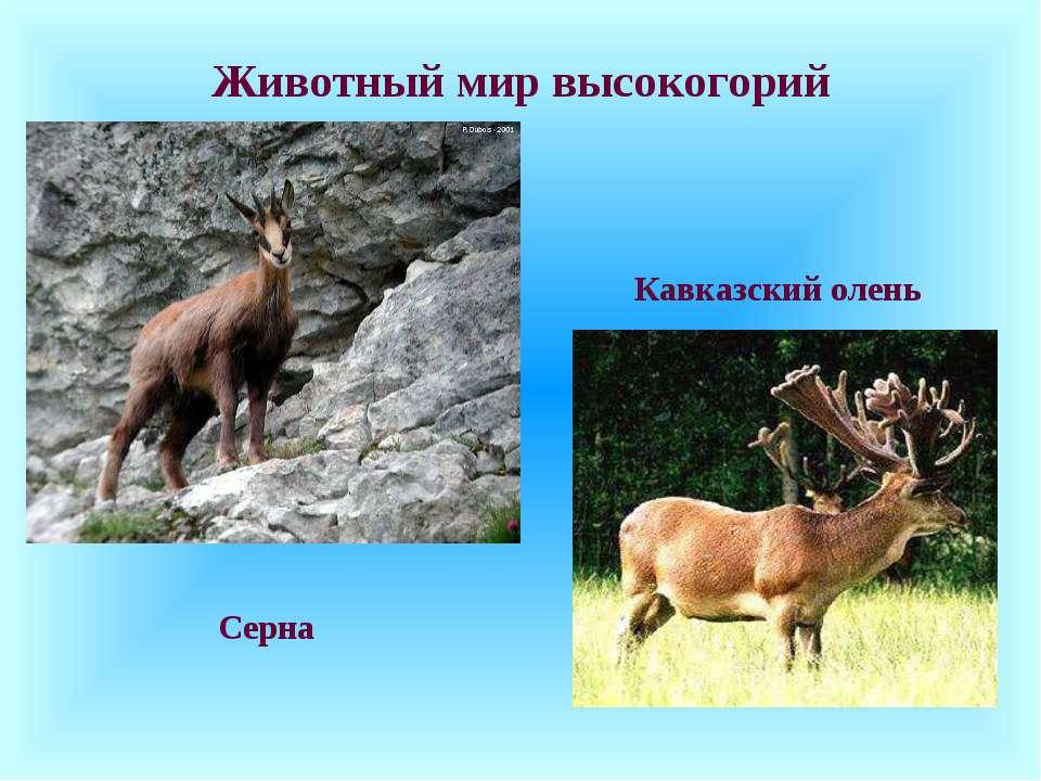 Животный мир высокогорий Серна Кавказский олень