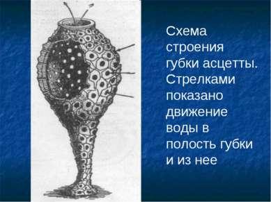 Схема строения губки асцетты. Стрелками показано движение воды в полость губк...