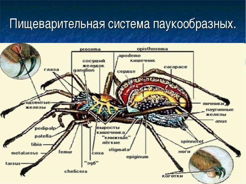 Пищеварительная система паукообразных.