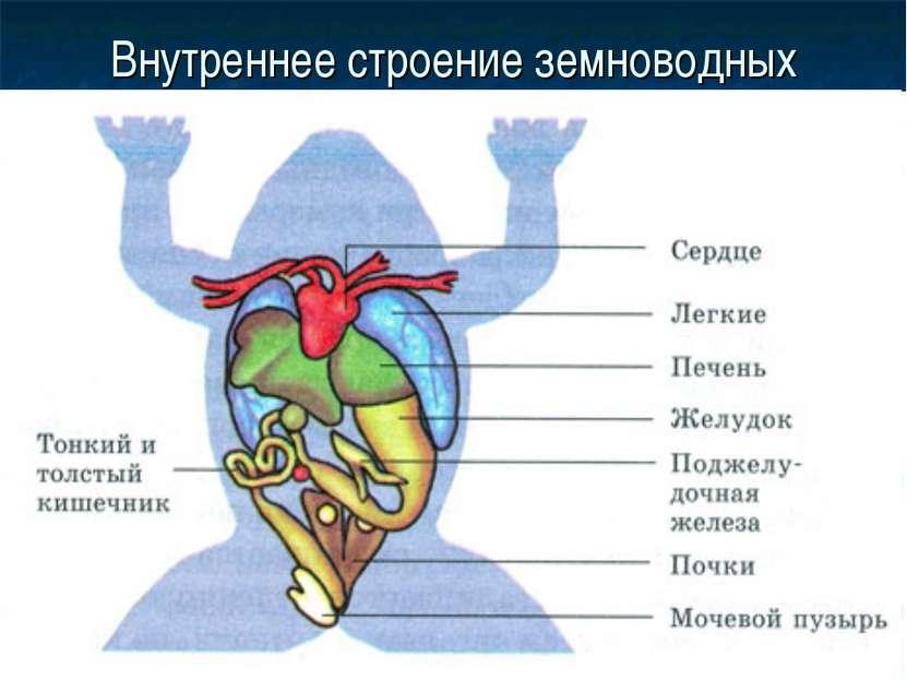 Внутреннее строение земноводных