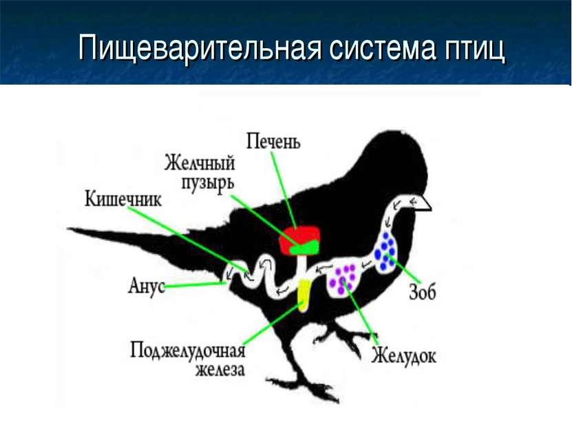 Пищеварительная система птиц