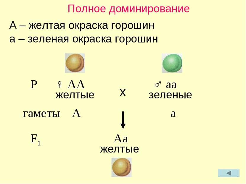Полное доминирование A – желтая окраска горошин a – зеленая окраска горошин P...