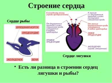 Есть ли разница в строении сердец лягушки и рыбы? Строение сердца Сердце рыбы...