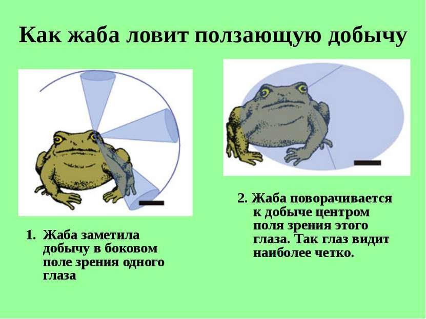 Как жаба ловит ползающую добычу Жаба заметила добычу вбоковом поле зрения од...