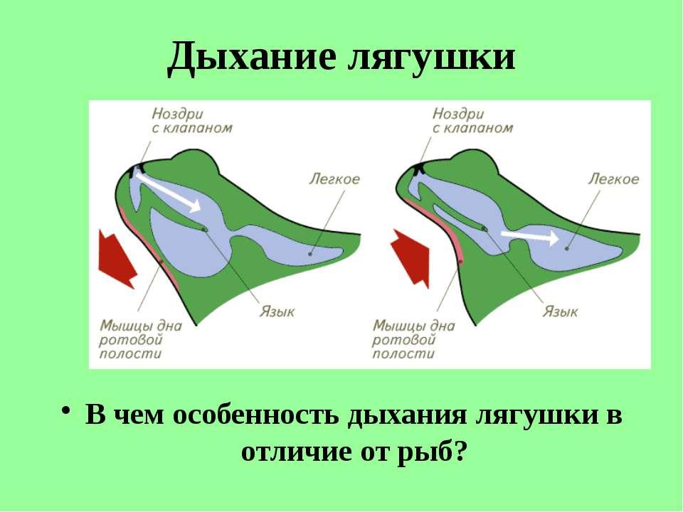 Дыхание лягушки В чем особенность дыхания лягушки в отличие от рыб?