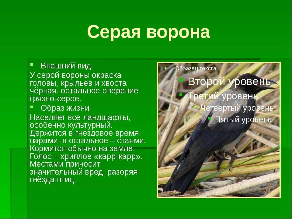 Серая ворона Внешний вид У серой вороны окраска головы, крыльев и хвоста чёрн...