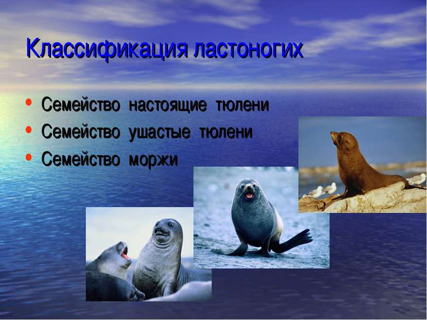 Классификация ластоногих Семейство настоящие тюлени Семейство ушастые тюлени ...