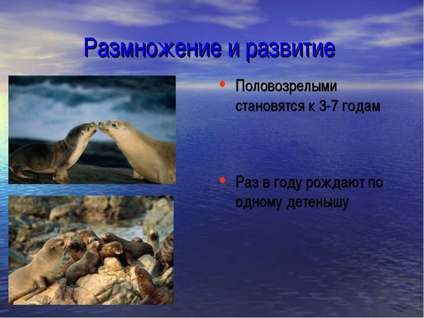 Размножение и развитие Половозрелыми становятся к 3-7 годам Раз в году рождаю...