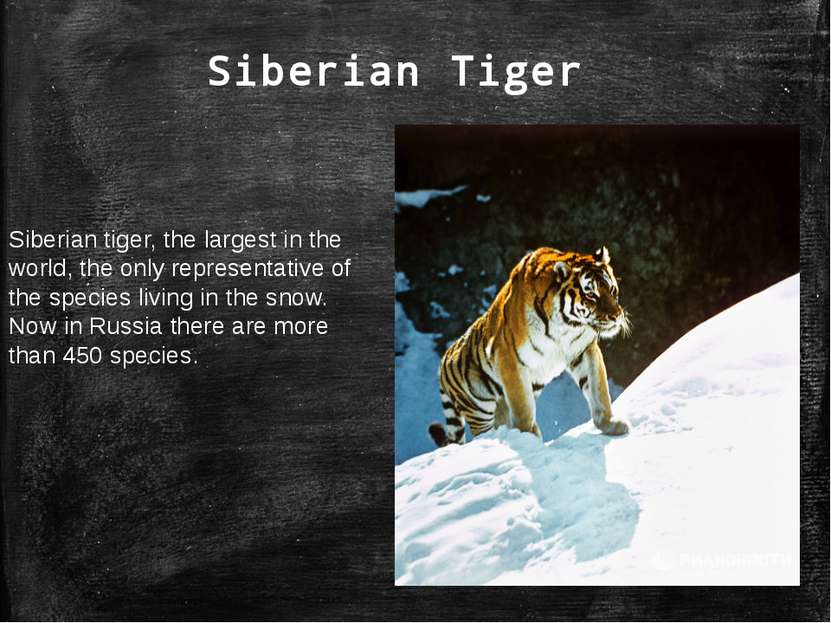 Siberian Tiger Siberian tiger, the largest in the world, the only representat...