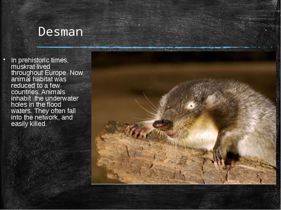 Desman In prehistoric times, muskrat lived throughout Europe. Now animal habi...