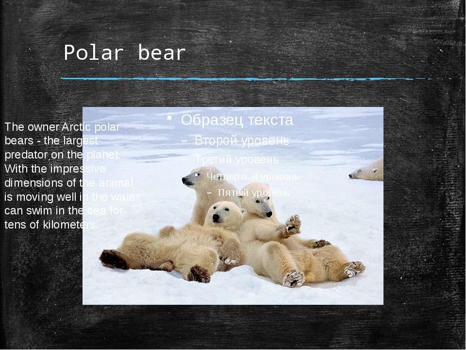 Polar bear The owner Arctic polar bears - the largest predator on the planet....