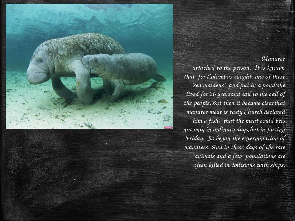 Manatee attached to the person.  It is known that  for Columbus caught  one o...
