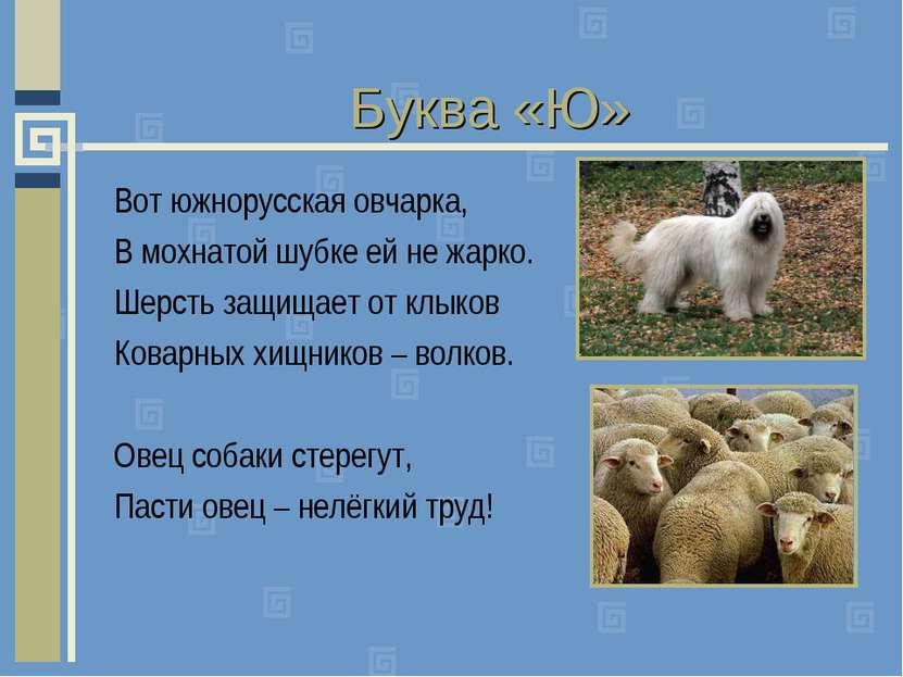 Буква «Ю» Вот южнорусская овчарка, В мохнатой шубке ей не жарко. Шерсть защищ...